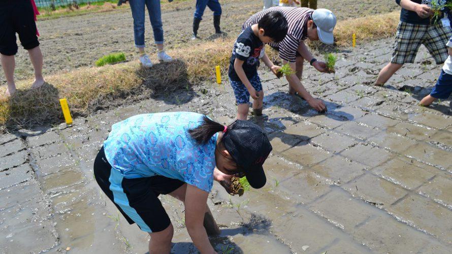 5月11日 芝寿し契約農家さんで「田植え」イベント実施