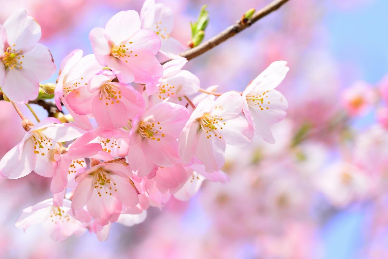 彼岸桜(ヒガンサクラ)